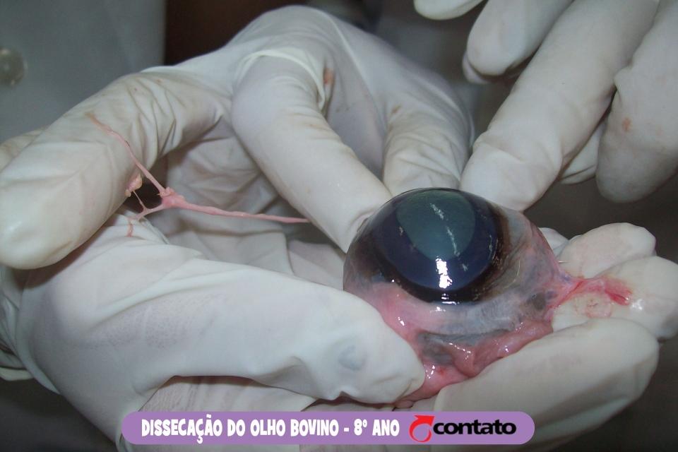 Dissecação do Olho Bovino